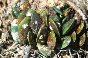 Green_Mussels