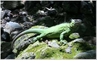 Invasive Iguana