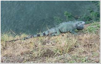 Photo 2 Green Iguana